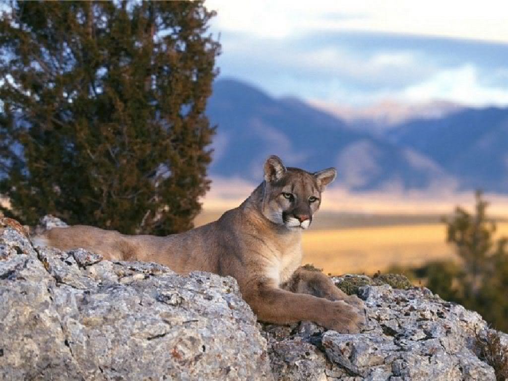 Laurel's Alter Ego - Mountain Lion