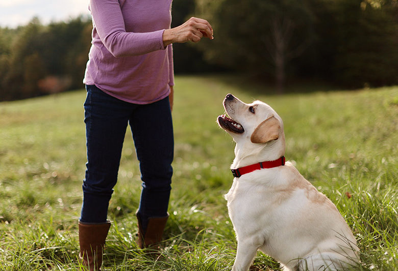 Woman Trains white lab with treats