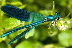 Lindas alter ego dragonfly