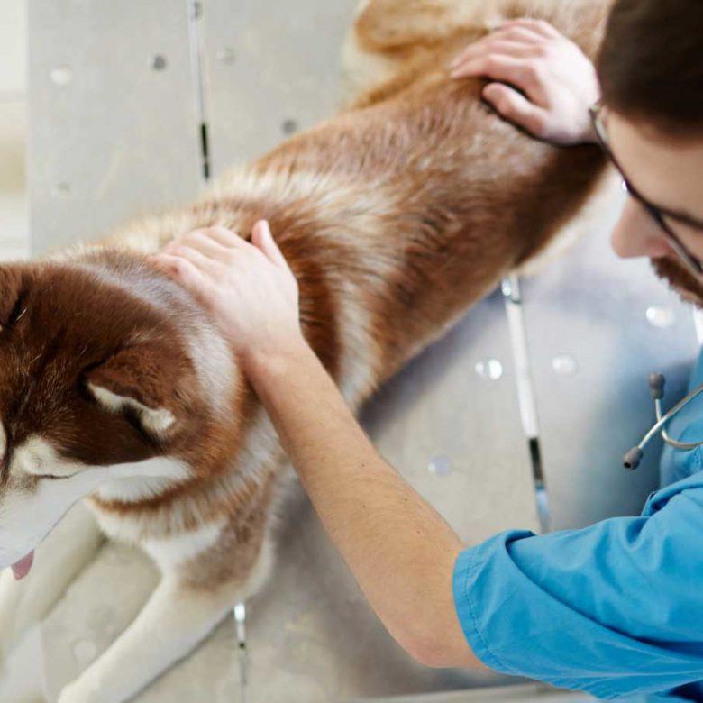 Chiropractic work on dog